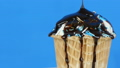 Chocolate sauce icing flows over ice cream in a waffle cup on blue background 49564102