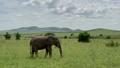 African elephants in Masai Mara park, Kenya 49593815