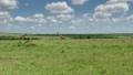 Reticulated giraffe couple in a Kenya 49593819