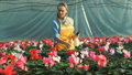 Greenhouse worker takes care of cyclamen flowers, growing in pots. 49596885