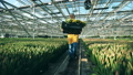 A gardener carries a basket with yellow tulips, working in a modern greenhouse. 49596932