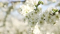Spring, apple trees, flowering orchard, close-up. 49630343