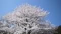 桜 さくら サクラ ソメイヨシノ 咲く 春 季節 サクライメージ 桜イメージ 花見 49639594