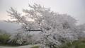 桜 さくら サクラ ソメイヨシノ 咲く 春 季節 サクライメージ 桜イメージ 花見 49639601
