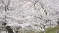 桜 さくら サクラ ソメイヨシノ 咲く 春 季節 サクライメージ 桜イメージ 花見 49639602