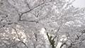 桜 さくら サクラ ソメイヨシノ 咲く 春 季節 サクライメージ 桜イメージ 花見 49639604