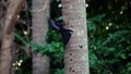 Black Drongo Bird (Dicrurus Macrocercus) Eating Insects on Tree 49642631