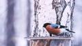 Bird male bullfinch on the roof of the feeder eats sunflower seeds. 49647962