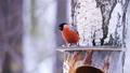 Bird male bullfinch on the roof of the feeder eats sunflower seeds. 49647963