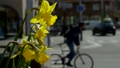 Beautiful yellow flowers on the city streets, active urban life. 49648727