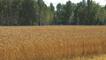 Golden autumn wheat farming field and beautiful forest 49649042