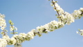 Flowering branch of a tree against a blue sky, spring and nature. 49666899
