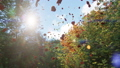 Autumn leaves fall from trees in autumn Park. Autumn colorful Park on a Sunny day. 49682110
