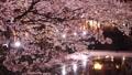 城崎温泉在夜间樱花盛开 49690691