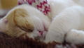 Close up of Scottish fold tabby kitten sleeping 49695712