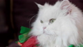 Close-up portrait of white cat with yellow eyes 49699377
