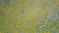 upper vertical view yellow blowballs on dry grey ground 49728460