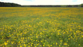 close view bright yellow dandelions on summer meadow  49728469