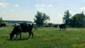 Cows graze on the field not far from the farm. A herd of cows are in the meadow with flowers and 49730912