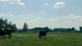 Black-and-white cows depasture on the field not far from the farm and eat grass in summer. A herd of 49730918