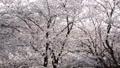 春イメージ 桜 桜吹雪 フィックス 49738593