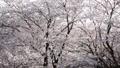 春イメージ 桜 桜吹雪 フィックス 49738598