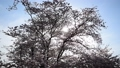 春イメージ 桜 木洩れ日 フィックス 49738601