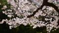 春イメージ 桜 フィックス 49738602