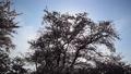 春イメージ 桜 木洩れ日 フィックス 49738605