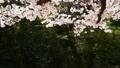 春イメージ 桜 桜吹雪 フィックス 49738608