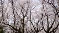 春イメージ 桜 桜吹雪 フィックス 49738612
