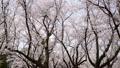 春イメージ 桜 桜吹雪 フィックス 49738614
