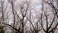 春イメージ 桜 桜吹雪 フィックス 49738616