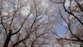桜 春イメージ 青空 フィックス 49739252