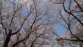 桜 春イメージ 青空 フィックス 49739254