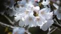 櫻花盛開 49746434