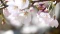 櫻花盛開 49746437
