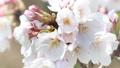 桜のアップ 49746438