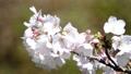桜のアップ 49746439
