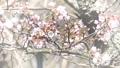桜のアップ 49746440