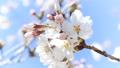 桜のアップ 49746441