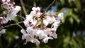 桜のアップ 49746547