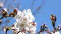 桜のアップ 49746563
