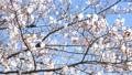 桜のアップ 49746566