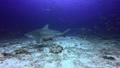 Shark feeding in underwater ocean of Fiji. 49756190