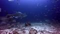 People swim with sharks in underwater ocean of Fiji. 49756191