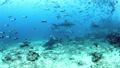 Underwater life of sharks and school of fish in Pacific Ocean. 49756192