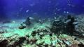 Diver feeds Gray Sharks and mustachioed nurse shark underwater. 49756196