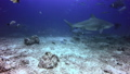 Whitefin Gray Shark swims near camera in underwater ocean of of Fiji. 49756198