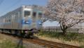 桜並木を通過する秩父鉄道 49800728